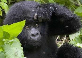 Rwanda Volcanoes Gorilla trekking